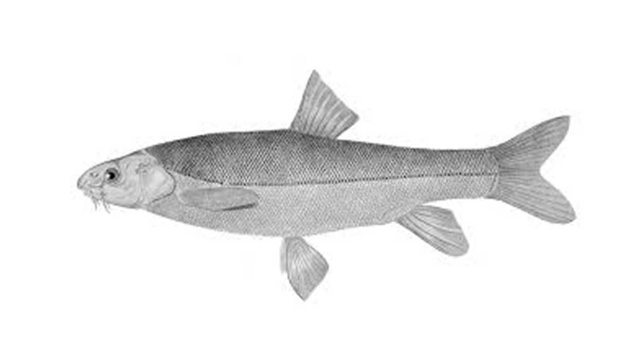 Schizothorax raraensis