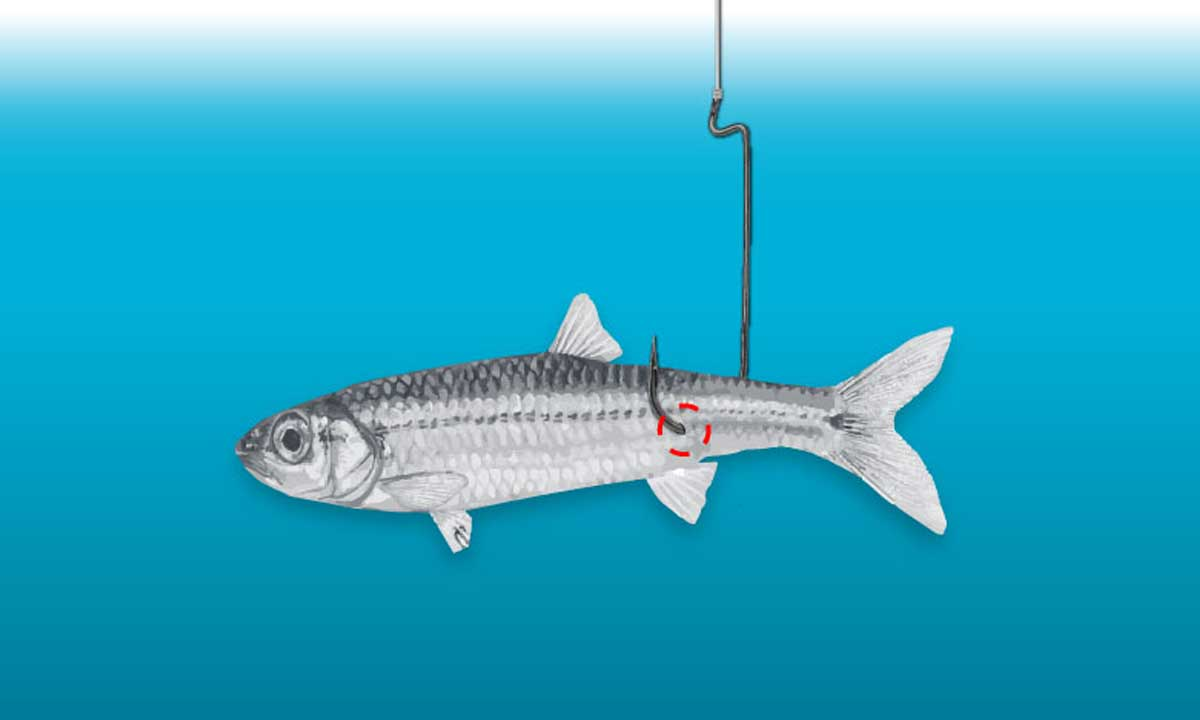 Tips for angling with Minnows