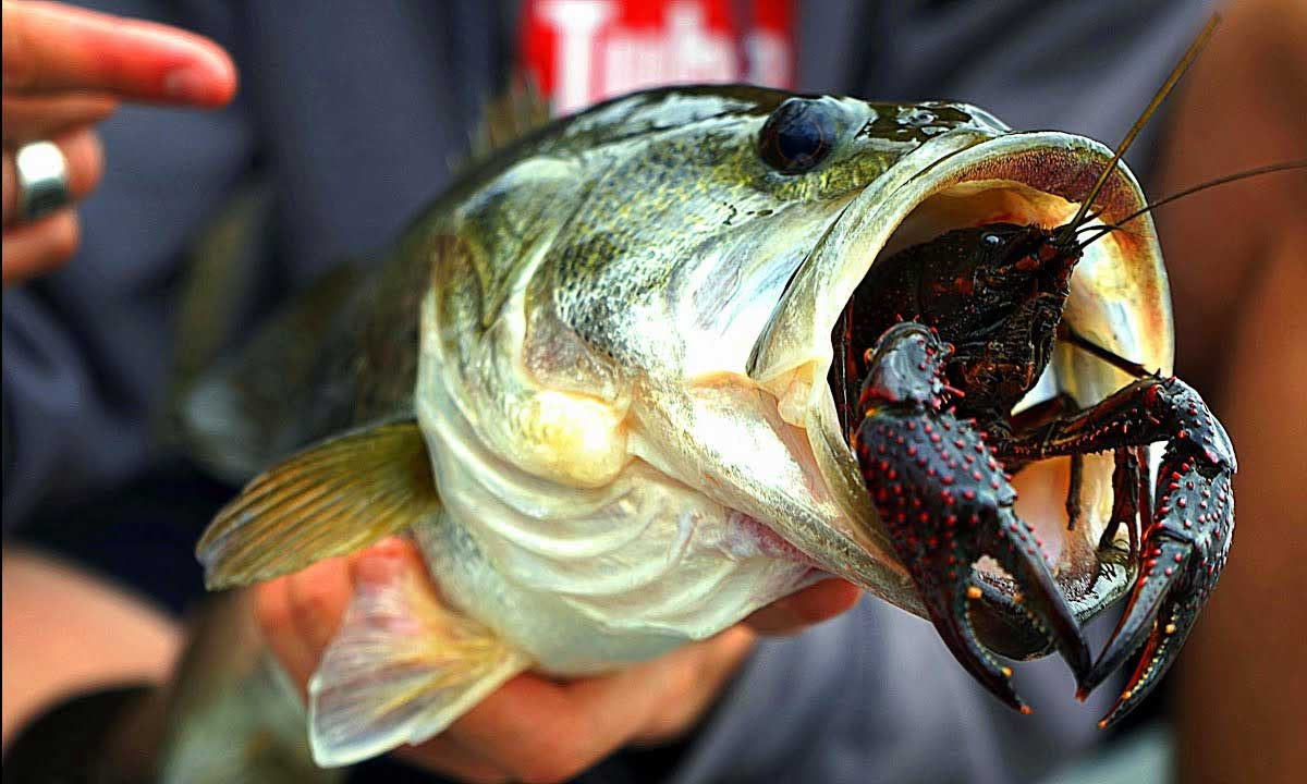 What Does Largemouth Bass Eat